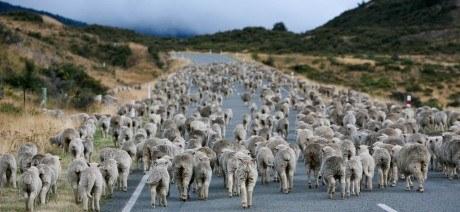 NewZealand_Sheep_1600x670