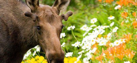 18AK-Flower-Moose-1600x670