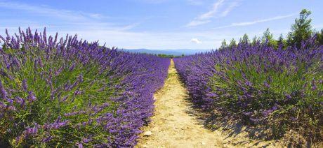 Phebus-Lavender-1600x670