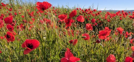 17AN0430-Poppies-1600x670
