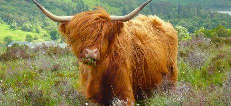 20UKSG_highlands_cattle_100_1600x900