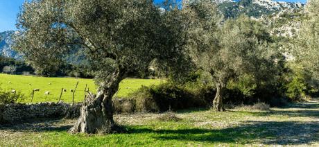 21MABC-MallorcaOliveTrees-CANVA-1600X670